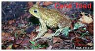 Adult Cane Toad (Bufo marinus) DOI, United States Geological Survey Archives. Invasive.org.