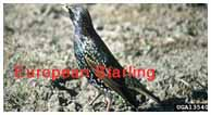 European Starling (Sturnus vulgaris) Adult - Lee Karney USDA, Agricultural Research Service. Invasive.org.