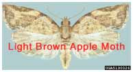 Light Brown Apple Moth. Natasha Wright, Florida Department of Agriculture and Consumer Services, Bugwood.org