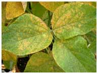 Soybean leaves infected with soybean rust. Photo by Christine Stone. (ARS Photo Gallery)