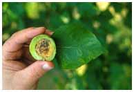 Symptoms of plum pox virus on apricot fruit and leaves. Photo by John Hammond. (ARS Photo Gallery)