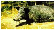 Wild Boar (Sus scrofa). Feral Pigs DOI. USGS. Pacific Island Ecosystem Research Center.